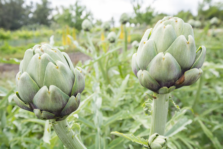 bracts: Artichokes on the plant Cynara cardunculus Stock Photo