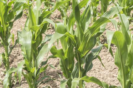 crop growing: Corn crop growing