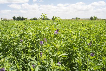 Medicago sativa in bloei (Alfalfa)