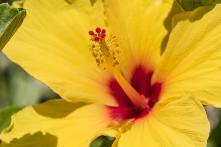 malvaceae: Hibiscus is a genus of flowering plants in the mallow family Malvaceae.