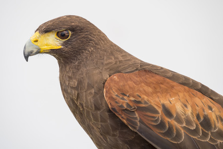 accipitridae: Eagle is a common name for many large birds of prey of the family Accipitridae.