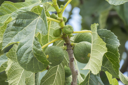 fig tree: Fig tree leafs unripe figs Stock Photo