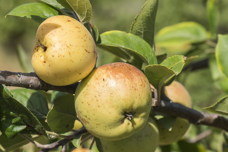 growing tree: Apples on the tree, apple tree Stock Photo