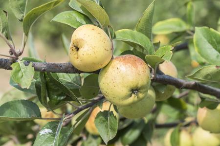 apfelbaum: Äpfel am Baum, Apfelbaum