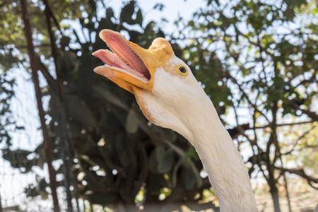 goose head: Head of a white Chinese Goose