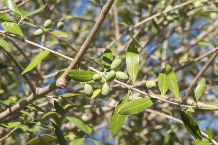 andalusian cuisine: Olives in the olive tree