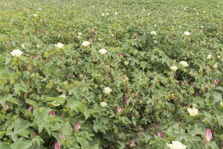 cotton ball: Cotton plantation in flower