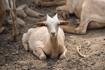 bovid: Goats lying resting Stock Photo