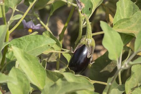 aubergine: Eggplant growing, aubergine