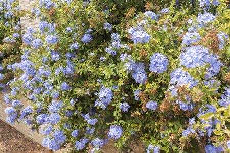 auriculata: Blue flowers plumbago auriculata, cape leadwort, blue jasmine