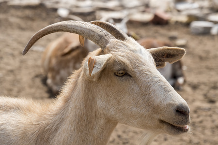 brown goat: Brown goat in the farm
