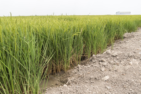 economic botany: Unripe rice plantation