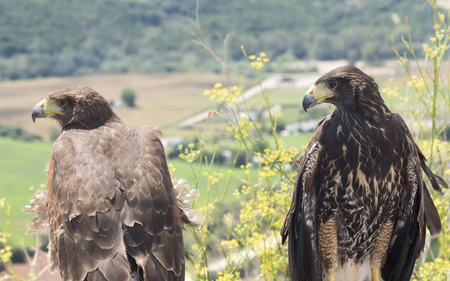 chrysaetos: Two golden eagles resting in the sun