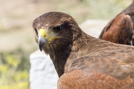 chrysaetos: Golden eagle resting in the sun with open beak Stock Photo
