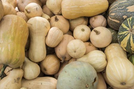 cushaw: Pumpkins, Cucurbita argyrosperma, moschata, Butternut, maxima, cushaw