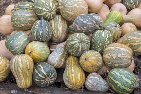 cucurbita: Pumpkins, Cucurbita argyrosperma, moschata, Butternut, maxima, cushaw