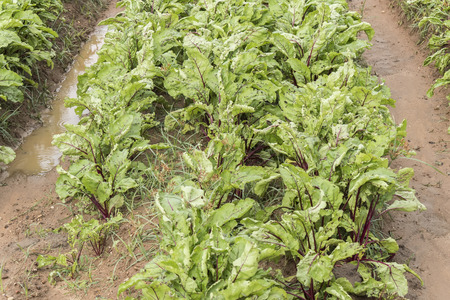 remolacha: La cosecha de remolacha