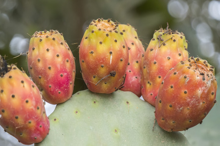 opuntia: Cactaceae, Opuntia, prickly pears cactus fruitsand