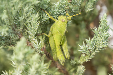 acrididae: Grasshoppers remaining in a plant, Acrididae Stock Photo