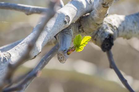 offshoot: Outbreaks of fig in spring