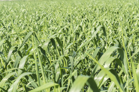 unripe: Harvesting unripe oats