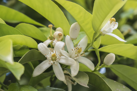 orange blossom: Orange blossom in spring, azahar flower