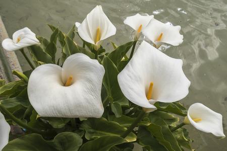 White Callas: Lirios calas blancas en la esquina de un estanque Foto de archivo