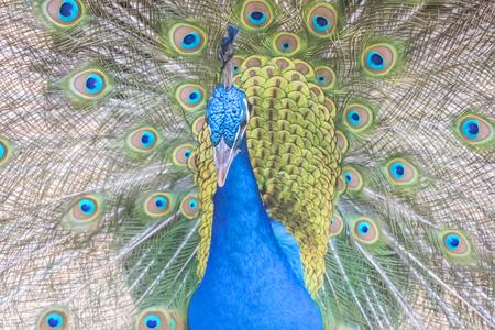 pavo: Pavo cristatus, Indian peafowl