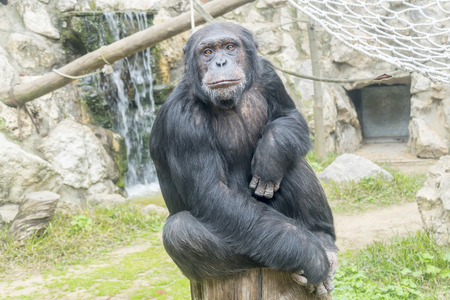 simia troglodytes: Chimpanzee, Pan troglodytes, Pan paniscus