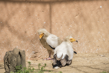 vulture: Neophron percnopterus, Egyptian vulture