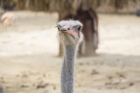 struthio camelus: Struthio camelus head, Ostrich head