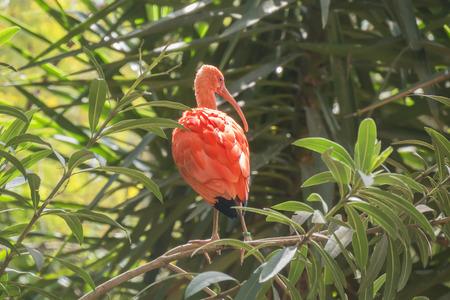 ibis: Eudocimus ruber, Scarlet ibis