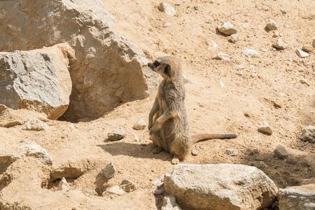 suricata suricatta: Suricata suricatta, Meerkat