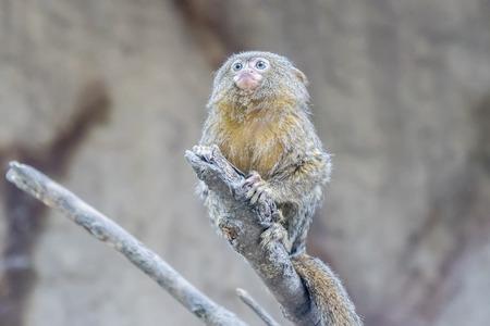 pygmy: Callithrix pygmaea, Pygmy marmoset