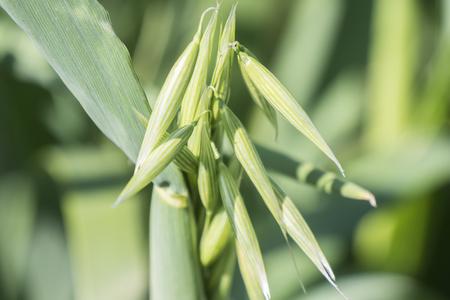 gramineous: Unripe Oat harvest, green field