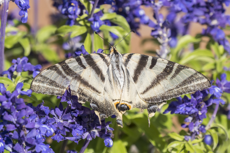 pollinators: Butterfly pollinating flowers of a sage plant
