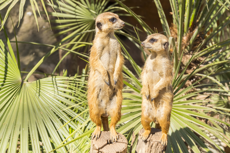 prying: Meerkats to the sun prying, Suricata suricatta Stock Photo