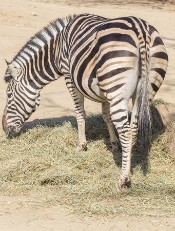 chapman: Chapman Zebra eating grass