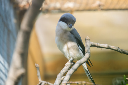 Lesser grey shrike looking at something intently, Laniu minor