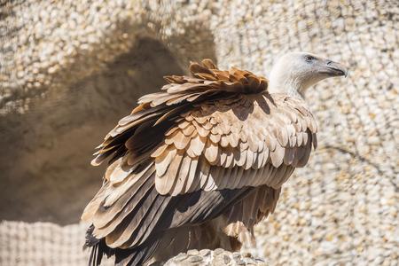 Closeup portrait of Griffon Vulture, Gyps Fulvus