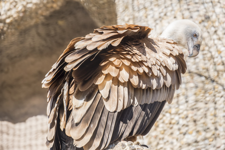 spreaded: Closeup portrait of Griffon Vulture, Gyps Fulvus