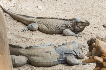 Two rhinoceros iguanas resting on the sand