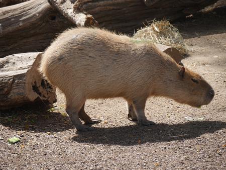 Capybara resting under the sun