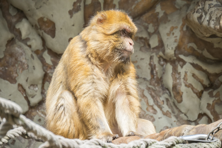 Barbary macaque staying calm and looking closely at something Stock Photo
