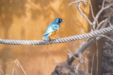 Superb starling perched on a rope, Spreo Superbus