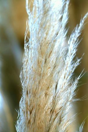 pampas: Macro pampas grass with grass blades Stock Photo