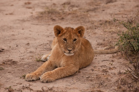 A baby lion in the Masai Mara Park in Kenya photo