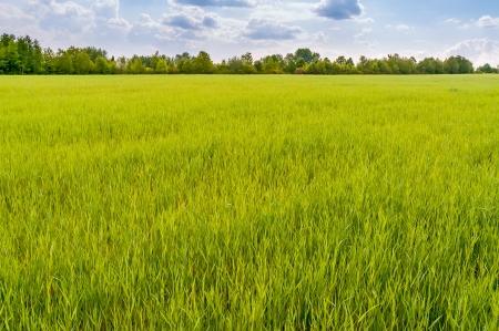 horizonte: Un campo de trigo verde bajo un cielo nublado, en Pirogovo cerca de Kiev Foto de archivo