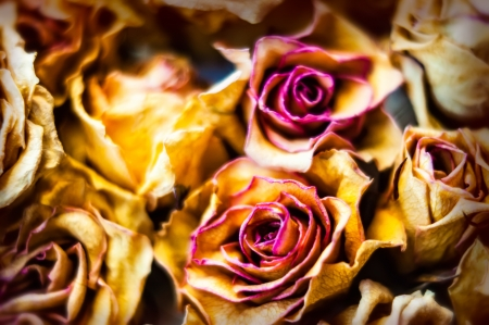 A close-up of red and orange dry roses photo