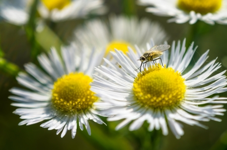 matricaria recutita: Closeup of a moschito on a chamomile flower